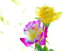 Обои макро, фон, две, цвет, розы, красота, лепестки