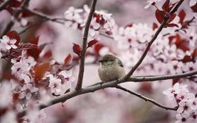 Обои дерево, ветка, весна, птичка, цветение