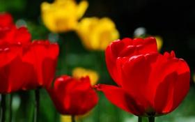 Обои тюльпаны, бутоны, боке