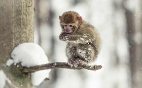Обои взгляд, холод, снег, обезьяна, природа