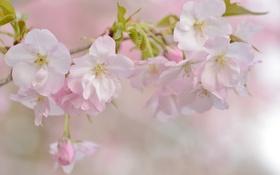 Обои вишня, нежность, ветка, весна, сакура
