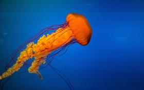 Обои океан, голубой, медуза, оранжевая