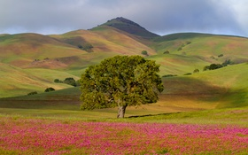 Обои цветы, поля, дерево, луг, холмы, трава, Калифорния