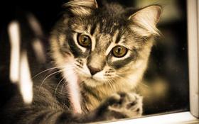 Обои сибирская кошка, фон, взгляд, глаза