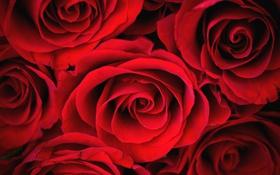 Картинка розы, лепестки, красные, бутоны