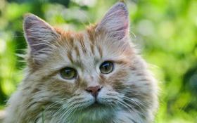 Обои кошка, глаза, взгляд, котэ