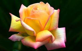 Обои фон, роза, лепестки, прелесть