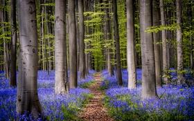 Обои лес, деревья, цветы, колокольчики, тропинка