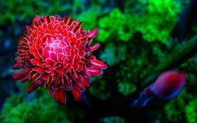Обои цветок, яркий, лепестки, георгина, макро. природа