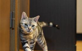 Картинка кошка, глаза, кот, усы, взгляд, дверь