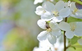 Обои макро, жук, ветка, весна, цветение
