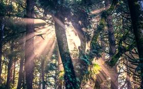 Обои деревья, мох, солнечные лучи