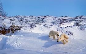 Обои Канада, игра, Хадсон Бей, белый медведь, медвежата
