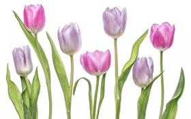 Картинка макро, тюльпаны, лиловый, бутоны