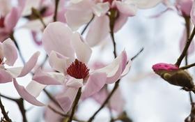 Обои розовая, нежность, весна, магнолия