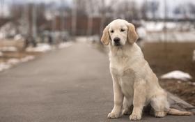 Обои пес, золотистый, ретривер