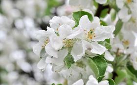 Обои макро, дерево, весна, яблоня