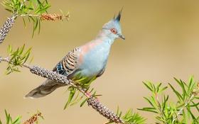 Обои птица, голубь, ветка, хохолок