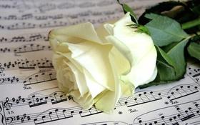 Обои ноты, роза, бутон