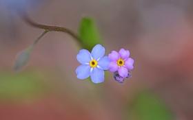 Обои цветок, природа, краски, лепестки, незабудка