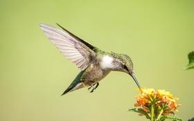 Обои полет, цветы, птица, крылья, колибри