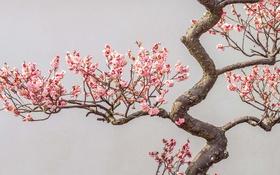 Обои цветы, ветки, дерево, весна, сад, цветение, слива