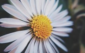 Обои цветок, ромашка, белые лепестки