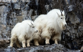 Обои горы, природа, козлы