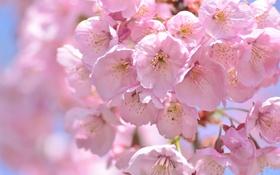 Картинка макро, вишня, розовый, весна, сакура