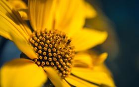 Обои цветок, желтый, лепестки
