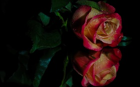 Обои бутон, отражение, роза, капли