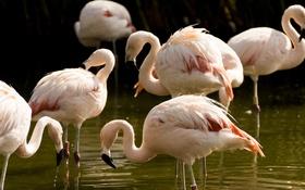 Обои птицы, розовые, фламинго
