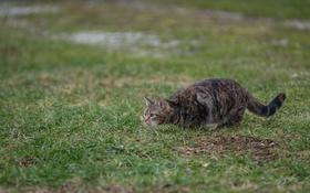 Обои кошка, трава, кот, охота
