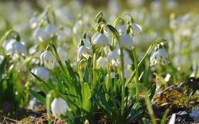 Картинка весна, первоцвет, белоцветник