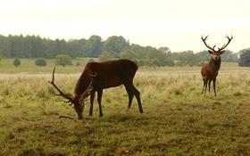 Обои лес, трава, деревья, природа, олень, рога