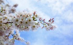 Обои небо, лепестки, сакура, цветение