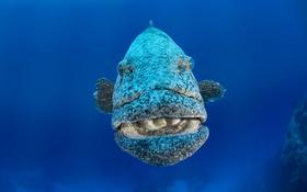 Обои море, океан, рыба, Merou patate