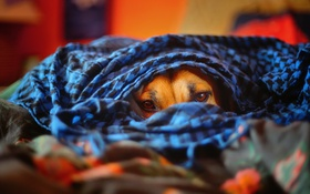 Картинка взгляд, уют, дом, друг, собака