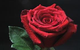 Картинка бутон, роза, красный, капли