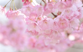 Обои вишня, розовый, весна, сакура