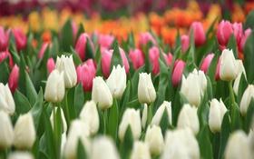 Обои белый, оранжевый, розовый, тюльпаны, бутоны