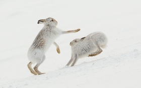 Картинка природа, Mountain Hare, Collision course