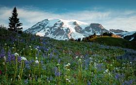 Обои цветы, Mt Rainier National Park, горы, луг, ледник, трава, США