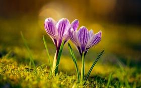 Обои весна, крокусы, дуэт