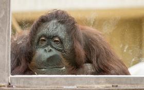Обои обезьяна, зоопарк, Orang-utan