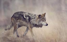 Обои трава, серый, фон, волк, хищник, размытие, боке