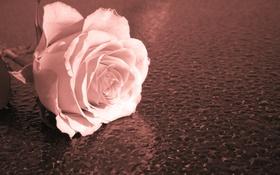 Обои макро, фон, роза
