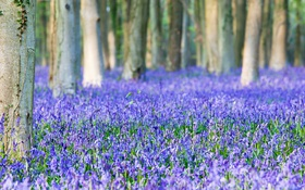 Обои flowers, spring, bluebells