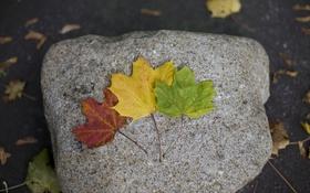 Обои листья, желтый, красный, зеленый, камень, клен, разные