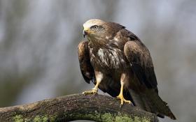 Картинка взгляд, птица, орел, бревно